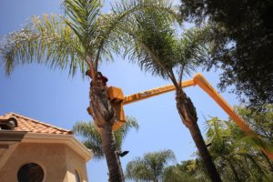 Palm Tree Trimming-Broward County FL Tree Trimming and Stump Grinding Services-We Offer Tree Trimming Services, Tree Removal, Tree Pruning, Tree Cutting, Residential and Commercial Tree Trimming Services, Storm Damage, Emergency Tree Removal, Land Clearing, Tree Companies, Tree Care Service, Stump Grinding, and we're the Best Tree Trimming Company Near You Guaranteed!